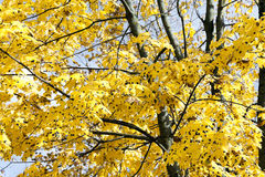 Yellowed maple leaves Royalty Free Stock Photography