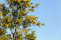 Yellowed maple leaves Stock Photo