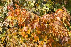 Yellowed maple leaves. In autumn season. Photo taken closeup with a small depth of field royalty free stock photo