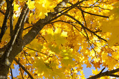 Yellowed maple trees in autumn. Maple trees growing in the park with colorful leaves in autumn season. Photo taken closeup during sunny weather royalty free stock images