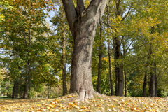 Yellowed maple trees in autumn Royalty Free Stock Image
