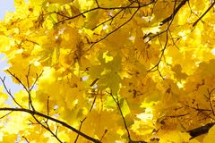 Yellowed maple trees in autumn. Maple trees growing in the park with colorful leaves in autumn season. Photo taken closeup during sunny weather stock photo