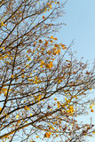 Yellowed maple trees in autumn. Yellowing leaves on maple trees in the fall season. Blue sky in the background. Photo taken closeup stock photo