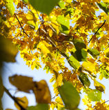 Yellowed maple trees in autumn. Yellowing leaves on maple trees in the fall season. Blue sky in the background. Photo taken closeup royalty free stock image