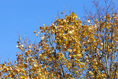Yellowed maple trees in autumn. Yellowing leaves on maple trees in the fall season. Blue sky in the background. Photo taken closeup Royalty Free Stock Photos