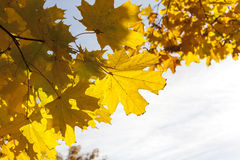 Yellowed maple trees in autumn Stock Image