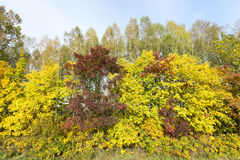 Yellowed maple trees in autumn. Yellowing leaves on maple trees in the fall season. Blue sky in the background. Photo taken closeup. The foliage is illuminated stock photo