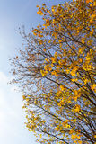Yellowed maple trees in autumn. Yellowing leaves on maple trees in the fall season. Blue sky in the background. Photo taken closeup. The foliage is illuminated royalty free stock photography