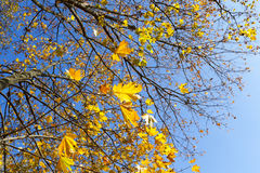 Yellowed maple trees in autumn. Yellowing leaves on maple trees in the fall season. Blue sky in the background. Photo taken closeup. The foliage is illuminated royalty free stock photos