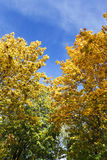 Yellowed maple trees in autumn. Yellowing leaves on maple trees in the fall season. Blue sky in the background. Photo taken closeup. The foliage is illuminated royalty free stock photo