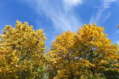Yellowed maple trees in autumn Royalty Free Stock Photo