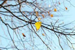 Yellowed maple trees in autumn Royalty Free Stock Photography