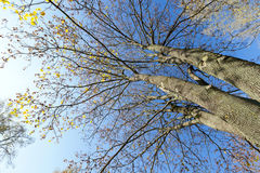 Yellowed maple trees in autumn Stock Photography