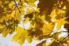 Yellowed maple trees in autumn Stock Photo