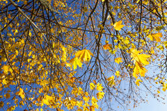 Yellowed maple trees in autumn Royalty Free Stock Images