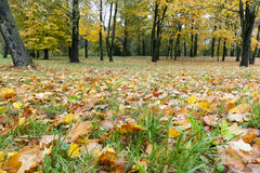 Yellowed maple trees in autumn Stock Images