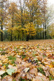 Yellowed maple trees in autumn. Yellowing leaves on maple trees in the fall season. Photo taken closeup. Foliage is not covered due to cloudy weather. location stock photography