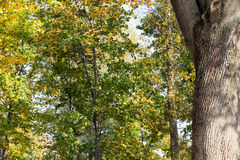 Yellowed maple trees in autumn Royalty Free Stock Photos