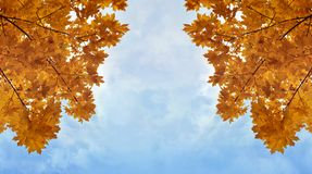 Yellowed maple trees. Branches of yellowed maple trees in fall season royalty free stock photo