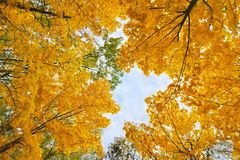 Yellowed maple trees. Branches of yellowed maple trees in fall season stock images