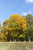 Yellowed maple trees in the fall Stock Images