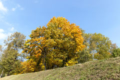 Yellowed maple trees in the fall Royalty Free Stock Image
