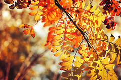 Yellowed mountain ash tree branches in bright sunlight Royalty Free Stock Photography
