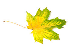 Yellowed multicolor autumn maple-leaf Stock Photo