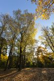 Yellowed maple trees in autumn. Yellowed and orange foliage of maple in early autumn. photo in the park during the sunrise. part of the branches and leaves the stock photography