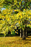 Yellowed poplar in the park  - autumn sunny landscape Stock Photo