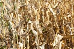 Yellowed ripe corn Royalty Free Stock Photography