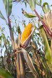Yellowed ripe corn Stock Photography