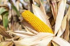 Yellowed ripe corn Royalty Free Stock Image