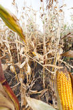 Yellowed ripe corn Stock Images