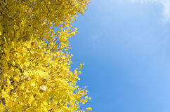 Yellowed tops of autumn forest trees with autumn golden leaves extending to the blue sky in day of fall - autumn Stock Images
