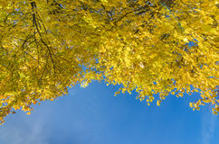 Yellowed tops of autumn forest trees with autumn golden leaves extending to the blue sky in day of fall - autumn Stock Image