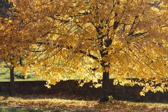 Yellowed tree crown illuminated by soft sunlight. Lime tree or linden with yellow leaves Stock Photo