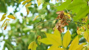 Yellowed Tree Leaves Swaying On Breeze. Close-up shot of a tree branch with yellowed and green leaves and seeds swaying on the wind stock video
