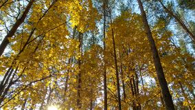 Yellowed trees royalty free stock photography
