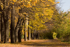 Yellowed trees and footpath in the city park. Autumn landscape. Yellowed trees and footpath in the city park Royalty Free Stock Images