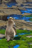 Yelloweyed Penguin in the Wild royalty free stock photo