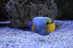 Yellowface angelfish Royalty Free Stock Photography