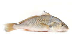 Yellowfin Croaker Stock Image