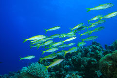 Yellowfin Goatfish Stock Image
