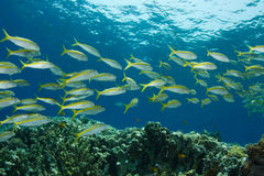 Yellowfin Goatfish Royalty Free Stock Images
