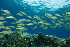 Yellowfin Goatfish Royalty Free Stock Images