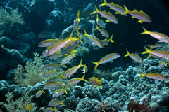 Yellowfin goatfish. (mulloidichthys vanicolensis) taken in ras mohammed, site jackfish alley Stock Image