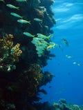 Yellowfin Goatfish Royalty Free Stock Photos