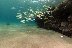 Yellowfin goatfish and coral in the Red Sea. Royalty Free Stock Photos