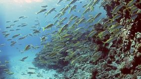Yellowfin goatfish on a coral reef stock video
